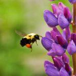Bumblebee-Gratisography